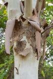 Un primo piano di un albero di betulla che sparge la sua corteccia fotografia stock libera da diritti