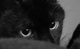 Un primo piano di B&W di Cat Looking nera alla destra Fotografia Stock