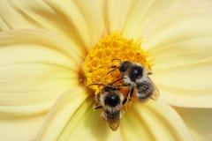Un primo piano di due api Fotografie Stock