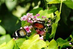 Un primo piano di due farfalle un bianco nero ed un giallo arancio ha colorato entrambi che si siedono su un fiore rosa Fotografia Stock