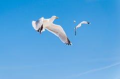Un primo piano di due gabbiani di mare volanti su cielo blu Immagini Stock