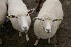 Un primo piano di due pecore Fotografia Stock