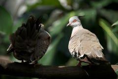 Un primo piano di due piccioni crestati sul ramo Immagine Stock