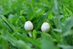Un primo piano di due piccoli funghi bianchi selvaggi che crescono sul campo di erba verde Fotografie Stock