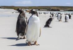 Un primo piano di due pinguini di Gento nelle Malvinas Islands-3 Fotografie Stock