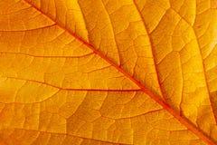 Un primo piano di grande foglio rosso di autunno Fotografia Stock Libera da Diritti