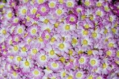 Margherite rosa Fotografia Stock Libera da Diritti