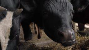Un primo piano di un naso della mucca stock footage
