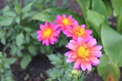 Un primo piano di quattro fiori con i petali rosa luminosi ed i centri gialli che sbocciano nel giardino Immagini Stock Libere da Diritti
