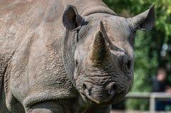 Un primo piano di un rinoceronte nero allo zoo immagini stock