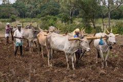 Un primo piano di tre coppie del bufalo che tirano gli aratri, India Immagini Stock