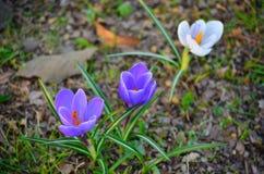 Un primo piano di tre croco viola e di erba verde fotografia stock