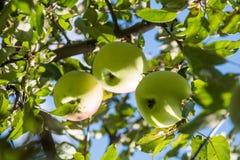 Un primo piano di tre mele verdi su un ramo pronto ad essere raccolto immagini stock libere da diritti