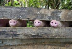 Un primo piano di tre musi del maiale Fotografia Stock Libera da Diritti