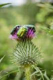 Un primo piano di tre scarabei verdi brillanti variopinti che si siedono su un germoglio e su un fiore di fiore in Bulgaria, Euro Immagini Stock Libere da Diritti
