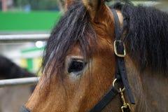Un primo piano di un cavallo Fotografia Stock Libera da Diritti