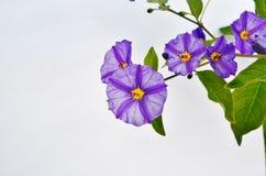 Un primo piano di un fiore del cespuglio della patata. Immagine Stock