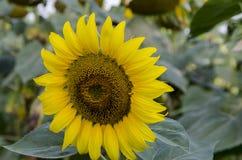 Un primo piano di un girasole o helianthus annuus del fiore che cresce nel giacimento del girasole Fotografia Stock
