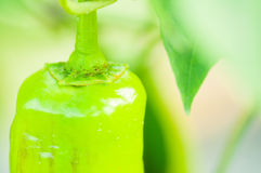 Un primo piano di un peperoncino rosso verde come concetto faming di eco Fotografia Stock Libera da Diritti