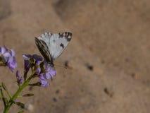 Un primo piano di una farfalla su un fiore di Aubrieta immagine stock libera da diritti