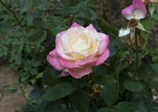 Un primo piano di una fioritura rosa gialla e rosa Fotografia Stock