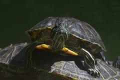 Un primo piano di una tartaruga d'acqua dolce che scavalca un altro Fotografie Stock