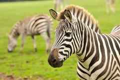 Un primo piano di una zebra Fotografia Stock