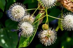 Un primo piano molto interessante dei globi carichi di nettare appuntiti (fioriture) di un bottone selvaggio Bush con un'ape nera Fotografie Stock Libere da Diritti