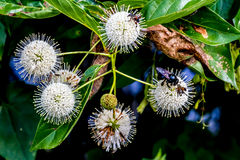 Un primo piano molto interessante dei globi carichi di nettare appuntiti (fioriture) di un bottone selvaggio Bush con un'ape nera Fotografia Stock