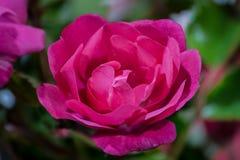 Un primo piano rosa rosa-rosso del fiore, macro con fondo rosa e verde vago fotografia stock libera da diritti
