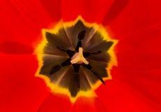Un primo piano rosso del fiore del tulipano fotografia stock