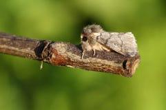 Un processionea raro sbalorditivo di Thaumetopoea del lepidottero di processionaria della quercia che si appollaia su un ramoscel fotografia stock
