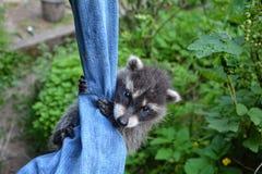 Un procione lavatore del bambino appende sui jeans Immagine Stock