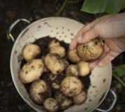Un puñado de nuevas patatas en colador Imágenes de archivo libres de regalías