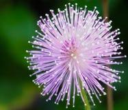 Un pudica de la mimosa de la belleza foto de archivo libre de regalías