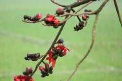 Un pulcher Châtaigne-gonflé de Starling Lamprotornis se repose à côté d'une fleur rouge d'arbre rouge de coton en soie de Shimul Image stock