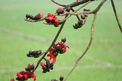 Un pulcher Châtaigne-gonflé de Starling Lamprotornis se repose à côté d'une fleur rouge d'arbre rouge de coton en soie de Shimul Photos libres de droits