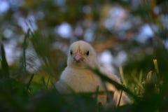 Un pulcino nell'erba Fotografia Stock