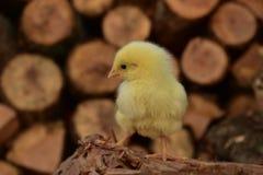 Un pulcino su un mucchio di legno Fotografia Stock Libera da Diritti