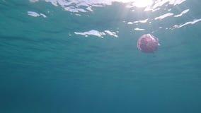 Un pulmo de Rhizostoma, conocido comúnmente como medusas del barril, medusas de la cubo de basura-tapa o medusas con volantes-art metrajes