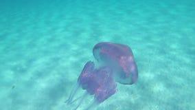 Un pulmo de Rhizostoma, conocido comúnmente como medusas del barril, medusas de la cubo de basura-tapa o medusas con volantes-art almacen de video