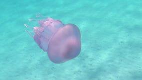 Un pulmo de Rhizostoma, conocido comúnmente como medusas del barril, medusas de la cubo de basura-tapa o medusas con volantes-art almacen de metraje de vídeo