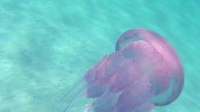 Un pulmo de Rhizostoma, généralement connu sous le nom de méduses de baril, méduses de poubelle-couvercle ou méduses froncé-dites banque de vidéos