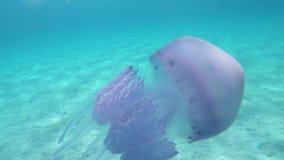 Un pulmo di Rhizostoma, conosciuto comunemente come le meduse del barilotto, le meduse del pattumiera-coperchio o al rallentatore stock footage