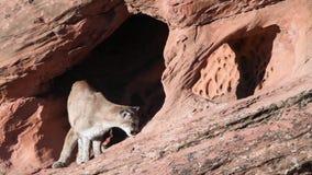 Un puma renifle autour d'une caverne peu profonde dans une falaise de grès rouge banque de vidéos