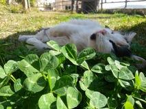 Un punto di vista del gatto che dorme sull'erba in ombra dell'albero per impedire lustro del sole Fotografia Stock