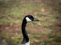 Un punto di vista di profilo di un'oca canadese con erba in è becco fotografia stock