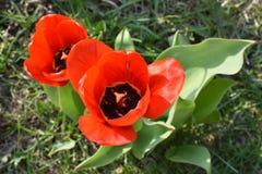 Un punto di vista superiore di due tulipani rossi immagini stock