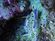 Un punto púrpura precioso Ovula (huevo) Fotografía de archivo libre de regalías