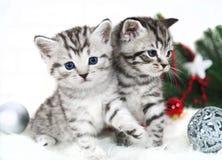 Un purosangue di due gattini nel natale Fotografia Stock Libera da Diritti
